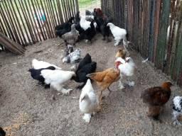 Venda de frango e francas disponíveis de 4.5.6.7.meses
