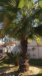 Palmeira washigtonia