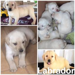 Labrador com pedigree e microchip