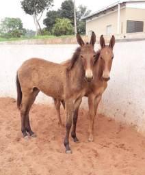 Vendo mulas sem registro