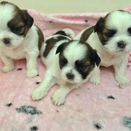 Lhasa Apso Babys Pequenos