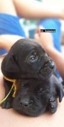 Filhotes de Labrador ÚLTIMOS DISPONÍVEIS