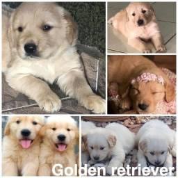 Golden retriever com pedigree e microchip