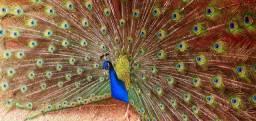 Galinha azul e ombros negros