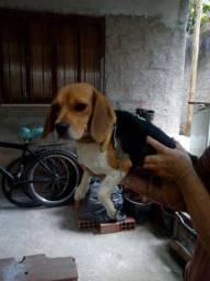 Fêmea Beagle Pura