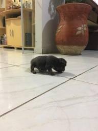 Pinscher Miniatura com pedigree