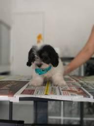 Lhasa Apso oferecemos um suporte veterinário único e gratuito * Alexandre