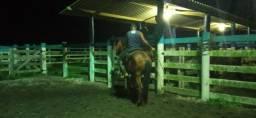 Cavalo de laço a venda