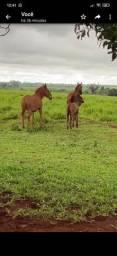 2 éguas 1 burro manso 1 mula no pé da egua