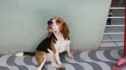 Beagle cruza