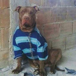 PITBULLS top BLACK nose e RED nose