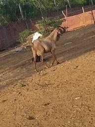 Bode cabra Carneiro