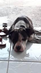 Filhotes de American pitbull terrier. preço negocial