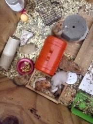 Vendo 10 Hamster Sírios por 80,00,não vendo de unidade, apenas os 10 de uma vez