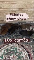 Cachorro ? chow chow