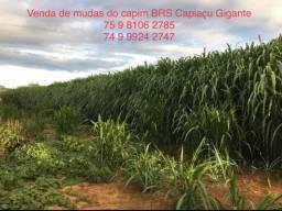 Capim Elefante Capiaçu Gigante - BRS