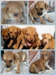 Doação de filhotes de cachorro, mistuturados de raça