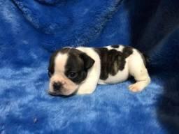 Bulldog francês com pedigree em até 18x