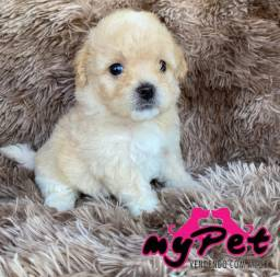 Poodle toy macho minúsculo com pedigree