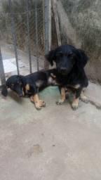 Doa se dois cachorros docil Amavel