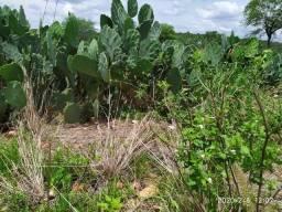 Palma Orelha de elefante (Raquetes prontas para plantio)