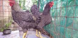Vende-se 10 galinha 2 galo 3 franga e 3 pintinho
