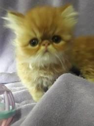 Filhotes de gatos persas laranjados machosParcelo cartão.Entrego em Curitiba e reg