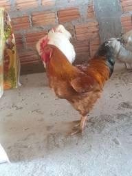 2,galo 2,galinha,