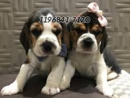 Filhotes de Beagle tricolor a pronta entrega...