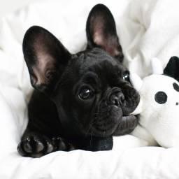 Ótimo Presente p/ o Dia das Mães! Bulldog Francês Macho e Fêmea