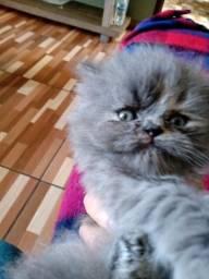 Lindos filhotes de gatos persas cinzas puros.Entrego em Curitiba e região