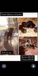 Filho de rottweiler