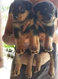 Vendê-se filhote de Rottweiler 1 macho e 4fêmea