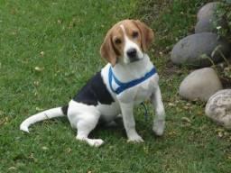 Cachorro Beagle!
