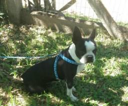 Boston Terrier Plantel