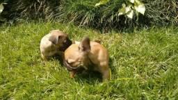 Bulldog Francês fulvo filhotes de alto padrão baixei preço Parc/em 10x entrego 9.4170.1378