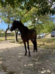 Cavalo Inteiro de trote