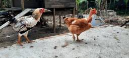Frangas / galinhas  - Pescoço pelado