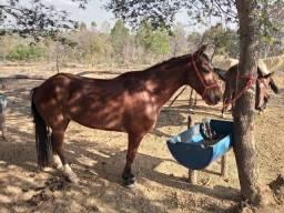 Vendo cavalo de 6 anos