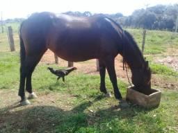 Vendo égua manga larga com corte de milha prenha de jumento pega mais 2 trais