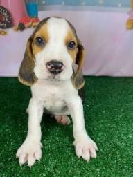 Beagle super lindos e saudáveis