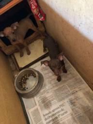 Vendo filhotes de pinscher
