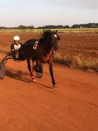Cavalo trotador importado