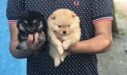 Lulu da Pomerânia lindos cães para toda sua família