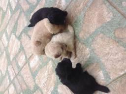 Filhotes de poodle pequenos