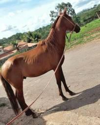 Cavalo macha batida