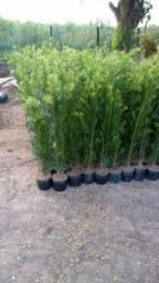 Mudas de podocarpus