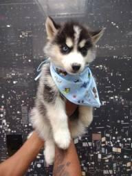 Ótimo Presente p/ o Dia das Mães! Husky Siberiano Filhote Macho e Fêmea