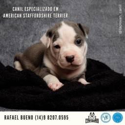 Filhote de American Staffordshire Terrier