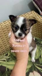 Chihuahua. Lindo bebê menino Pêlo longo